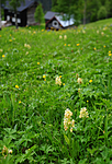SIR_5477 / Dactylorhiza sambucina / Søstermarihand