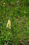 SIR_5502 / Dactylorhiza sambucina / Søstermarihand