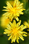 SIR_5634 / Crepis praemorsa / Enghaukeskjegg