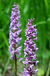 SIR_5832 / Gymnadenia conopsea / Brudespore