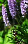 SIR_5976 / Ophrys insectifera / Flueblom
