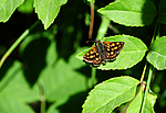 SIR_6063 / Carterocephalus palaemon / Gulflekksmyger