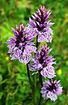 SIR_6316 / Dactylorhiza maculata / Flekkmarihånd
