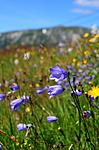 SIR_6482 / Campanula rotundifolia / Blåklokke