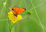 SIR_6743 / Lycaena virgaureae / Oransjegullvinge