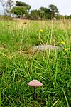 SIR_7099 / Entoloma griseocyaneum / Lillagrå rødspore