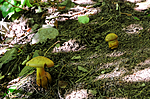 SIR_7434 / Cortinarius cotoneus / Hasselslørsopp