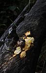 SIR_7690 / Perenniporia tenuis / Eggegul kjuke