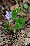 SIR_9140 / Viola selkirkii / Dalfiol