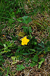 SIR_9464 / Ranunculus bulbosus / Knollsoleie