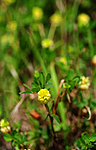 SIR_9690 / Trifolium campestre / Krabbekløver