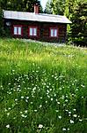 SIR_9700 / Leucanthemum vulgare / Prestekrage