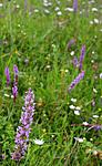 SIR_9849 / Gymnadenia conopsea / Brudespore