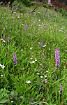 SIR_9853 / Gymnadenia conopsea / Brudespore