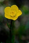 SR0_2903 / Ranunculus bulbosus / Knollsoleie