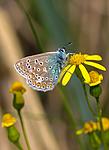 SR0_3117 / Polyommatus icarus / Tiriltungeblåvinge