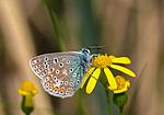 SR0_3119 / Polyommatus icarus / Tiriltungeblåvinge