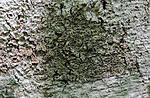 SR0_3255 / Pyrenula nitida