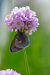 SR0_3290 / Armeria maritima / Fjærekoll <br /> Coenonympha pamphilus / Engringvinge <br /> Misumena vatia