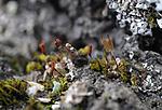 SR0_3427 / Encalypta spathulata / Hårklokkemose