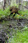 SR0_3630 / Carex disperma / Veikstarr