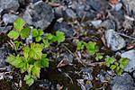 SR0_7179 / Rubus caesius / Blåbringebær