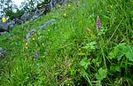 SR0_7438 / Gymnadenia conopsea / Brudespore