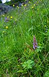 SR0_7439 / Gymnadenia conopsea / Brudespore