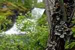 _SRE0826 / Collema actinoptychum <br /> Dendriscocaulon intricatulum <br /> Lobaria hallii / Fossenever