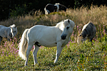 _SRE1037 / Equus caballus / Hest