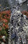 _SRE1866 / Gloeophyllum protractum / Langkjuke