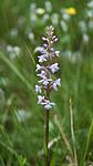 _SRE3506 / Gymnadenia conopsea / Brudespore