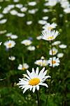 _SRE3690 / Leucanthemum vulgare / Prestekrage