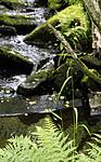 _SRE4338 / Cinna latifolia / Huldregras