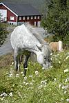 _SRE4987 / Equus caballus / Hest