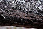 _SRE5573 / Crustoderma corneum / Hornskinn