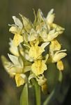 _SRE7055 / Dactylorhiza sambucina / Søstermarihand