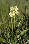 _SRE7057 / Dactylorhiza sambucina / Søstermarihand