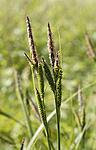 _SRE7219 / Carex elata / Bunkestarr