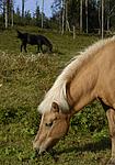 _SRE8586 / Equus caballus / Hest