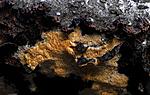 _SRE9458 / Antrodiella americana / Broddsoppsnyltekjuke <br /> Hymenochaete tabacina / Tobakksbroddsopp