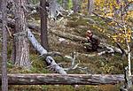 bb005 / Pinus sylvestris / Furu
