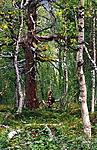 bb038 / Betula pubescens / Bjørk <br /> Letharia vulpina / Ulvelav <br /> Pinus banksiana / Banksfuru <br /> Pinus sylvestris / Furu