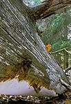 bb052 / Perenniporia subacida / Dynekjuke <br /> Picea abies / Gran