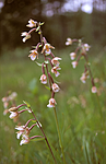 bb065 / Epipactis palustris / Myrflangre