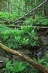 bb069 / Alnus incana / Gråor <br /> Betula pubescens / Bjørk <br /> Matteuccia struthiopteris / Strutseving