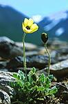 bb087 / Papaver radicatum / Islandsvalmue <br /> Papaver radicatum groevudalense