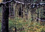 bb183 / Evernia divaricata / Mjuktjafs <br /> Picea abies / Gran