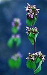 bb252 / Ballota nigra nigra / Tunhunderot