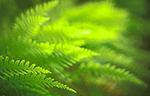 bb333 / Polypodium vulgare / Sisselrot